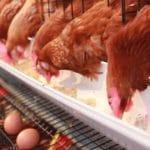 9 Cara Budidaya Ayam Petelur untuk Pemula