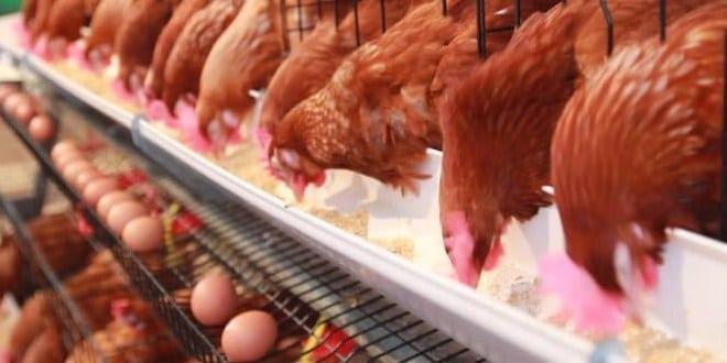 9 Cara Budidaya Ayam Petelur untuk Peternak Pemula