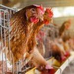 7 Penyebab Ayam Petelur Tidak Mau Bertelur