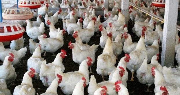 contoh ternak ayam broiler