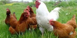 jenis ayam petelur