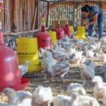 10 Cara Memelihara Ayam Potong agar Cepat Besar
